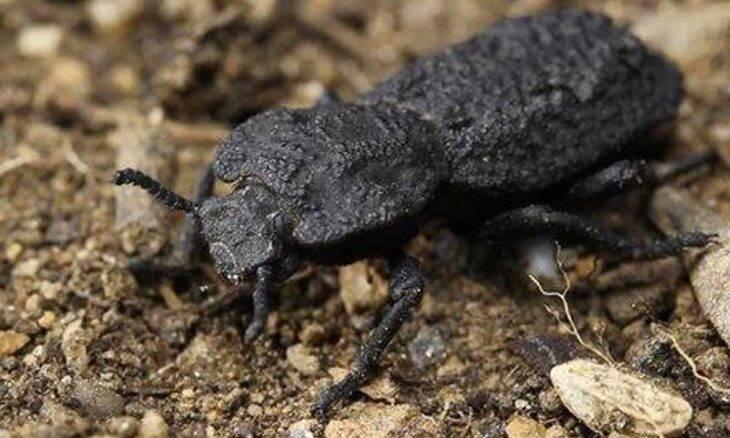 Phloeodes diabólica o besouro indestrutível. Foto: Reprodução/Facebook