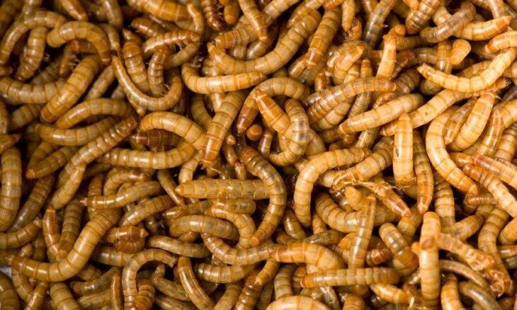 Europa libera larva de besouro para consumo humano