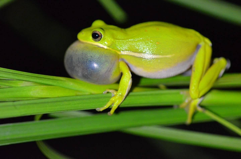 Perereca fêmea é capaz de cancelar ruídos para dispensar machos indesejáveis
