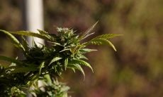 Liberação de plantio de maconha medicinal tem parcer favorável na Câmara
