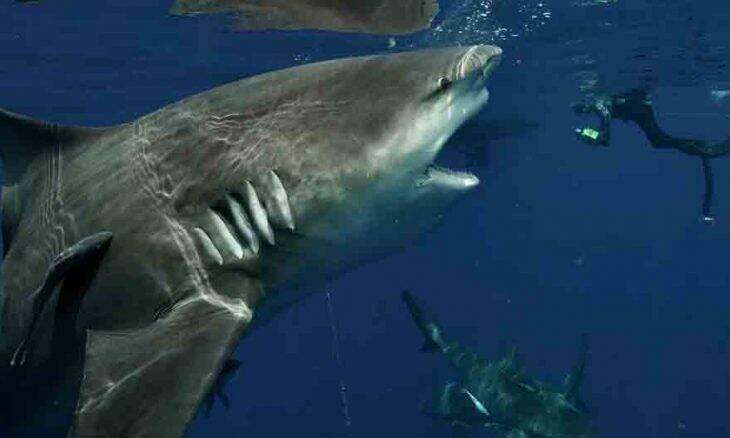 Tubarão monstruoso caçando na Flórida é flagrado por mergulhador; veja fotos. Foto: Reprodução Instagram