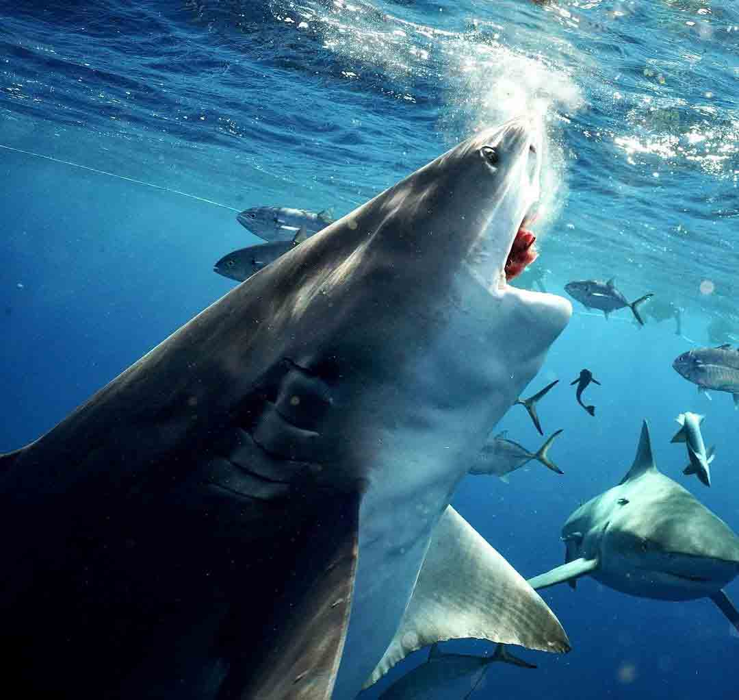 Tubarão gigantesco caçando na Flórida é flagrado por mergulhador
