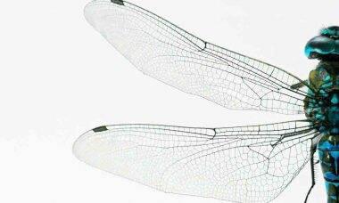 Nova espécie de libélula é descoberta em São Carlos. Foto ilustrativa: Pixabay