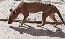 Vídeo colorido mostra como era o último lobo-da-tasmânia